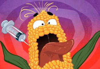 Năm 2015, Việt Nam khai triển giống bắp GM đại trà. Hơi chậm? Các tay trùm GM, như Monsanto, Syngenta lời ròng cả tỉ USD thì việc tài trợ nghiên cứu của họ chỉ là chuyện nhỏ, kể cả chi phối kết quả nghiên cứu.