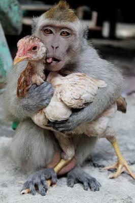 Năm khỉ, chẳng ai ăn thịt khỉ, nhưng làm trò khỉ trong thực phẩm thì khá nhiều. Năm tới là năm gà. Thịt gà tương dối lành (trừ gà móng đỏ). Tôi sẽ tôi khai bút với bài gà. Hẹn bạn đọc đầu năm Gà.